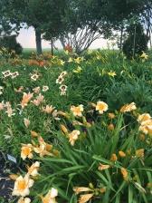 Lily bush